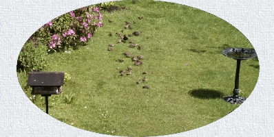 Birds feeding on our lawn